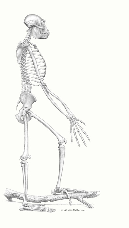 ardipithecus-side-view440